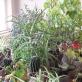 Augalai iš LLTI kabinetų. 2011 m.
