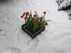 Atminties tulpės