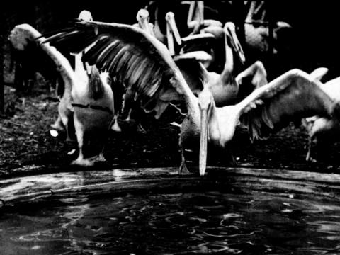 """Lina Albrikienė, kūrinio dalis – kadras iš filmo """"Pelicans in the Zoo"""", 1898 m."""