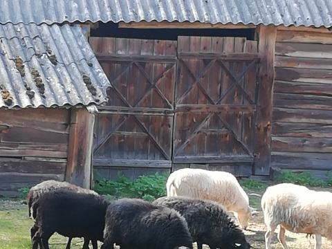 Lauros avys
